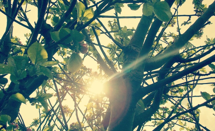 Sunlight through apple tree